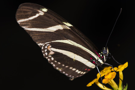 Photo of a Zebra Longwing  Heliconius charitonius  butterfly of the Nymphalidae family   Stock Photo