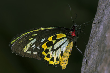papilionidae: A male Cairns Birdwing  Ornithoptera priamus  butterfly, from the family Papilionidae