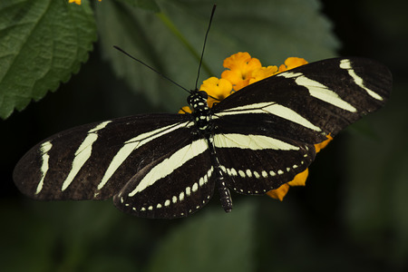 A Zebra Longwing, Heliconius Charitonia, butterfly of the family Nymphalidae