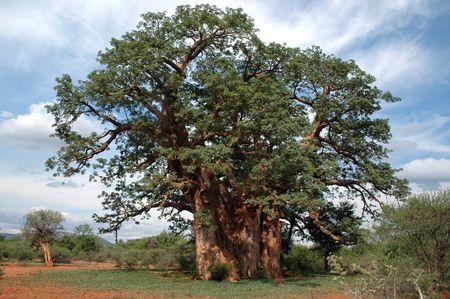 adansonia: Giant baobab tree