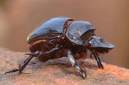 Goliath dung beetle photo