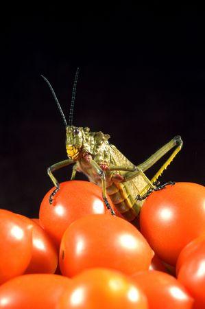 szarańcza: Locust na koktajl tamatoes Zdjęcie Seryjne