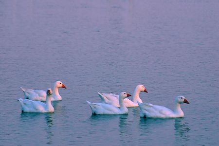 Five snow geese swimming at sunset. photo