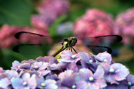 A dragonfly perched on a hydrangea blossom. photo