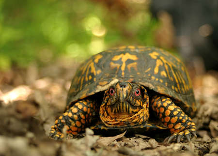 it's: A box turtle in its natural surroundings.