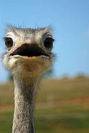 flightless: Close up of an emuostrich