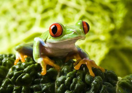 rotaugenlaubfrosch: Im green