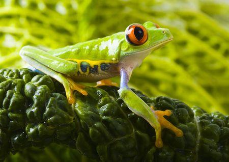 colours tints: Tree frog Stock Photo