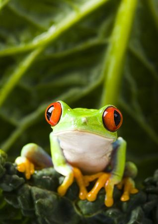 red eyed: Red eyed frog