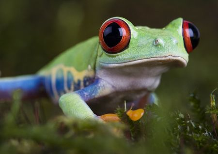 colours tints: Red eyed tree frog