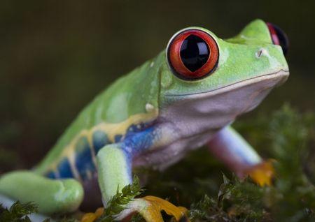 rotaugenlaubfrosch: Green frog Stock Photo