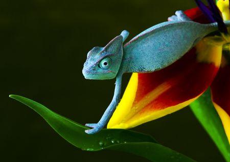 chameleon lizard: Chamelon
