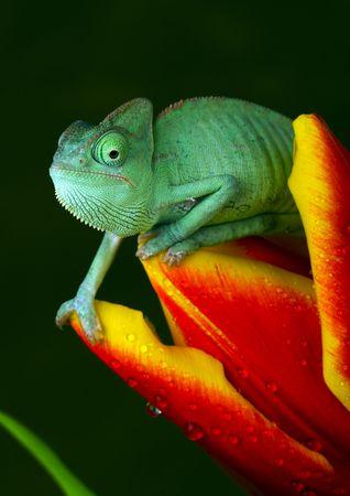 Chameleon on tulip photo