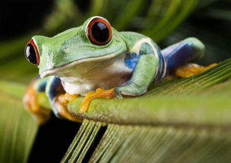 sapo: Roja ojos de hoja de rana  Foto de archivo