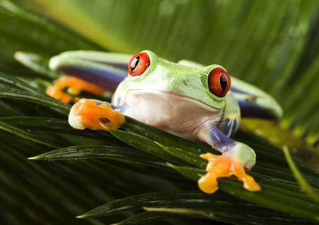 rotaugenlaubfrosch: Red eyed leaf frog