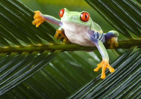 Red eyed tree frog Stock Photo - 786705