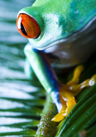 extintion: Red eyed leaf frog