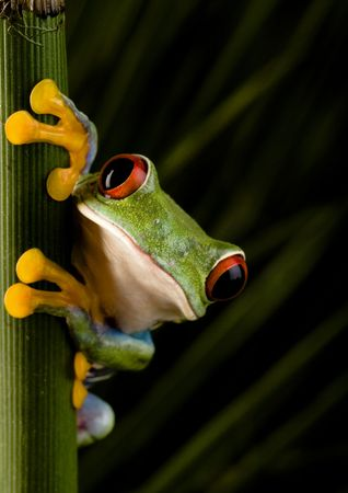 Red eyed leaf frog photo