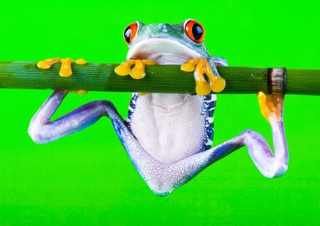 blue frog: Roja rana arb�rea de ojos  Foto de archivo