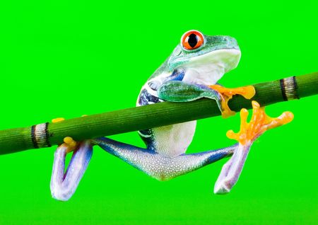 Red eyed tree frog Stock Photo - 788269