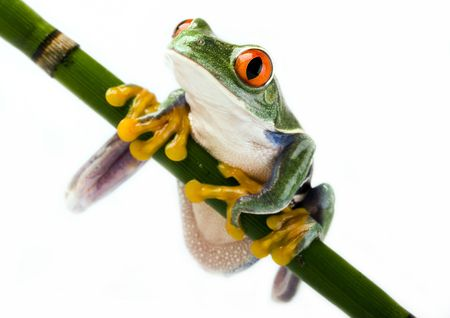 redeyed tree frog: Red frog
