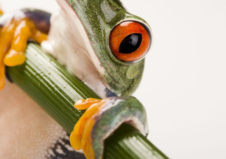 redeyed tree frog: Red eyed tree frog