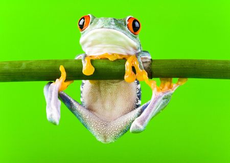 redeyed tree frog: Frog Stock Photo