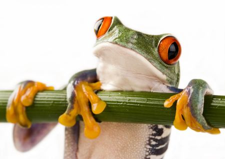 Red eyed tree frog Stock Photo - 788248