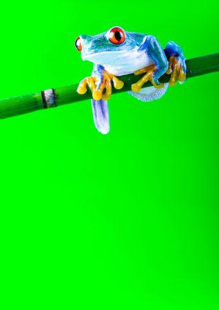 anura: Roja rana de �rbol de ojos