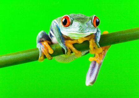 Frog Stock Photo - 788244