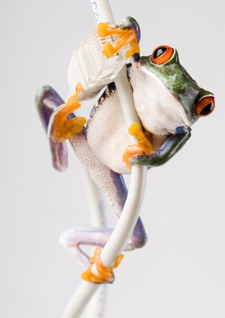 anura: Roja rana arb�rea de ojos  Foto de archivo