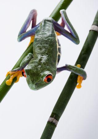 rotaugenlaubfrosch: Crazy frog
