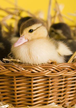 anseriformes: Easter ducks