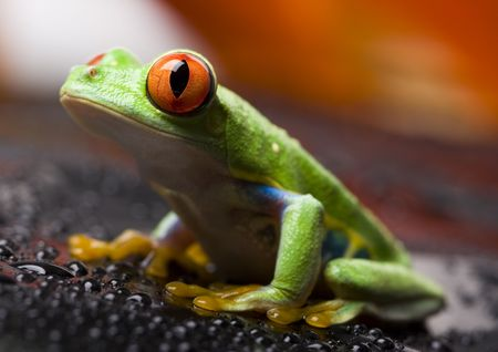 extintion: Red eyed tree frog