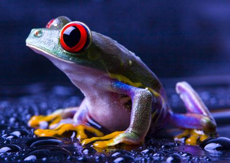 extintion: Red eye frog