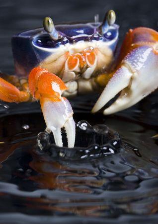 marine crustaceans: Crab