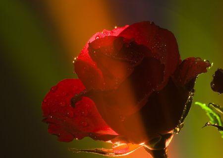 Rose (Rosa), un tipo de flor que pertenece a la rosa-como la familia, incluye más de 200 especies (según algunos investigadores a unos pocos miles) arbustos, que se pueden encontrar en zonas templadas y cálidas zonas del hemisferio norte. Foto de archivo - 868938