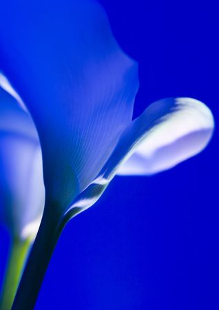arum: Calla lily, Arum lily (Zantedeschia), plant, genus in the family Araceae, 8 species native to southern Africa.