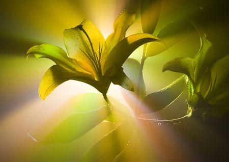 dinamismo: Lilium (Lilium), in genere la famiglia Liliaceae, qualcosa come circa 75 specie native per la Euroasia temperato. Spesso, per quanto riguarda le colture di cresciuto, fiori profumati.