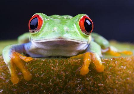 anura: Frog - animales peque�os con piel suave y largo que las piernas se usan para saltar.  Foto de archivo