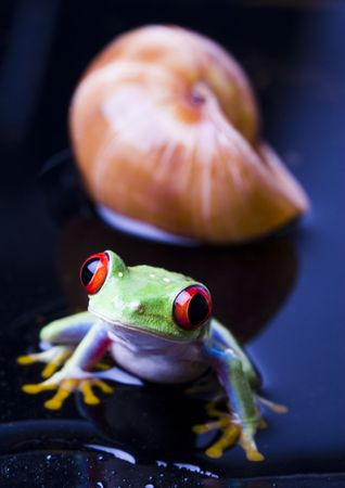 rotaugenlaubfrosch: Frog - small animal with smooth skin and long legs that are used for jumping.