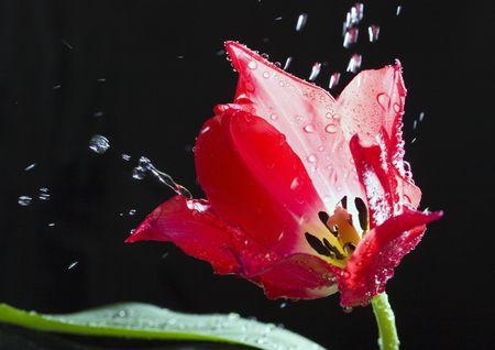 Tulipany (Tulipa L., Amana) - A jaskrawo-kolorowych kwiatów w kształcie małej filiżanki, która rośnie z bańki na wiosnę. Zdjęcie Seryjne
