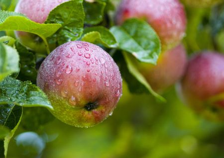 skins: Apples are hard, round fruits with a smooth green, red or yellow skins. They are found in the sphere of temperate climates. Stock Photo