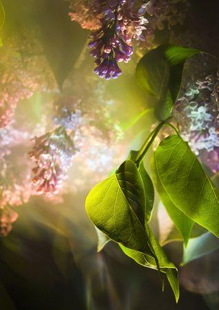 Lilac jest drzewo lub duży krzew, że ma duży purpurowe lub białe kwiaty na wiosnę.