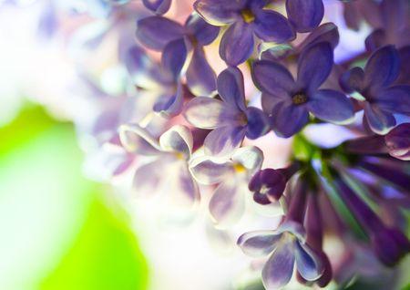 dinamismo: Lilla � un albero o arbusto di grandi dimensioni che ha grandi fiori bianchi o porpora in primavera.