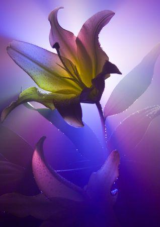 dinamismo: Lilium (Lilium), genere nella famiglia Liliaceae, intorno a qualcosa gradisce 75 specie natali al Euroasia temperato. Spesso i raccolti con riguardo dei fiori sviluppati e fragranti. Archivio Fotografico