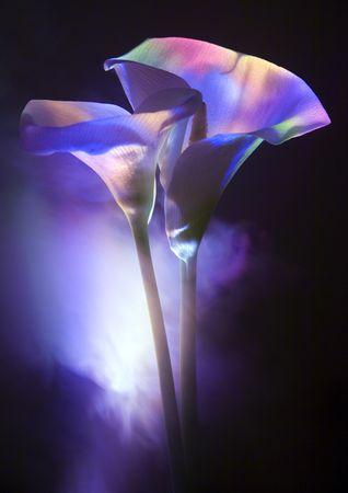 fleur arum: Calla Lily, Lily Arum (Zantedeschia), de plantes, genre au sein de la famille Araceae, 8 esp�ces natives de l'Afrique australe.