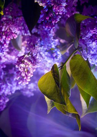 dinamismo: Lilla � un albero o arbusto di grandi dimensioni che ha grandi porpora o bianchi fiori in primavera.  Archivio Fotografico