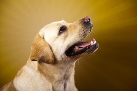 Labrador Retriever dog  photo