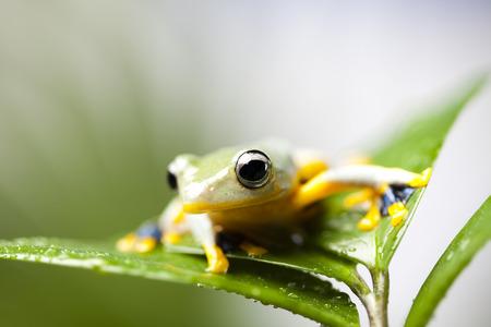 arboreal frog: Rana ex�tica en indonesia, Rhacophorus reinwardtii Foto de archivo